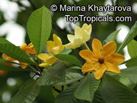 Gardenia Hybrid (Light Yellow)