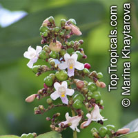 Gmelina dalrympleana, Grey TeakClick to see full-size image