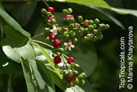 Gmelina macrophylla, Ephialis simplicifolia, Gmelina dalrympleana, Vitex dalrympleana, Vitex macrophylla, Grey Teak  Click to see full-size image