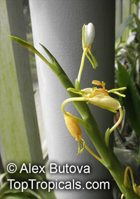 Hedychium sp., Ginger Lily  Click to see full-size image