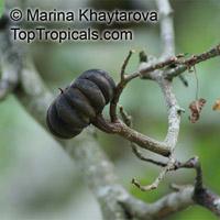 Hura crepitans, Sandbox Tree, Possumwood   Click to see full-size image