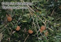 Hydnocarpus anthelmintica, Siamese Chaulmoogra  Click to see full-size image