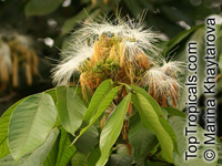 Inga jinicuil, Feuilleea jinicuil, Inga peterno, Paterno  Click to see full-size image