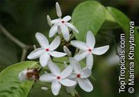 Kopsia singaporensis, White Kopsia, Singapore KopsiaClick to see full-size image