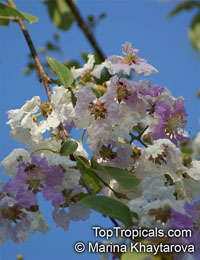 Lagerstroemia tomentosa, White Crape Myrtle 