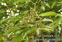 Leea indica, Leea sambucina, Leea umbraculifera, Staphylea indica, Bandicoot Berry  Click to see full-size image