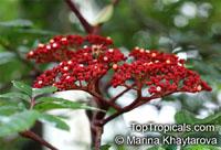Leea rubra, Leea brunoniana, Leea linearifolia, Leea polyphylla, Red Leea  Click to see full-size image