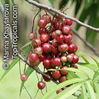 Lepisanthes alata, Otophora alata, Johore Tree, Malaysian Lepisanthe, PerupoksClick to see full-size image