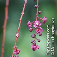 Lepisanthes alata, Otophora alata, Johore Tree, Malaysian Lepisanthe, Perupoks  Click to see full-size image