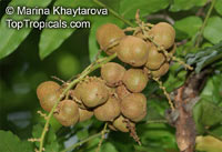 Lepisanthes amoena, Malaysian Lepisanthes, Buah Matahari  Click to see full-size image