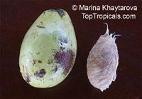 Mangifera caesia, Binjai, Malaysian Mango, Wani  Click to see full-size image