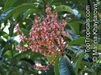 Mangifera foetida, Mangifera odorata, Mangifera oblongifolia, Kuwini, Horse Mango, Malmut, Limus, Machang, Bachang, Kuini  Click to see full-size image