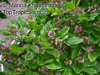 Millettia pinnata, Pongam, Indian Beech  Click to see full-size image