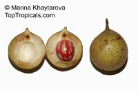 Myristica fragrans, Nutmeg