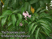Newbouldia laevis, African Border Tree, Akoko Tree, Newboldia  Click to see full-size image