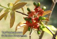 Ochna integerrima, Ochna thomasiana, Vietnamese Mickey Mouse Plant, Hoa Mai, Mai Vang, Hoang Mai  Click to see full-size image