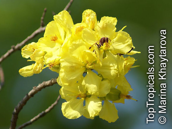 Bush Plane For Sale >> Ochna integerrima, Ochna thomasiana, Vietnamese Mickey ...