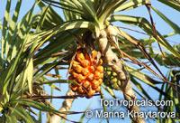 Pandanus tectorius, Pandanus spiralis, Screw Pine, Screw Palm  Click to see full-size image