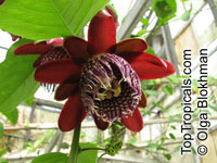 Passiflora alata, Winged-Stem Passionflower, Fragrant Granadilla  Click to see full-size image