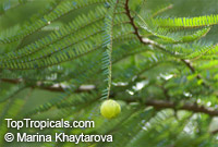 Phyllanthus pectinatus, Emblica pectinata , Melaka Tree  Click to see full-size image