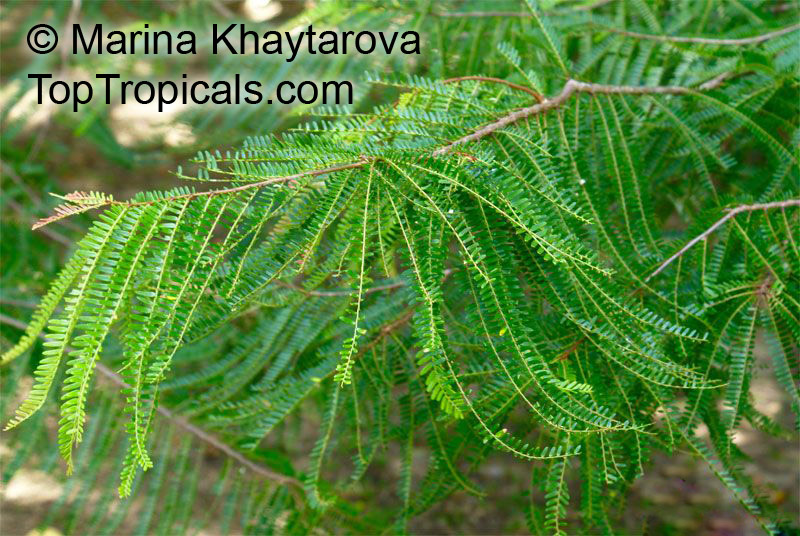 amalaki plant for sale