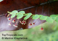 Phyllanthus pulcher, Phyllanthus pulcherClick to see full-size image