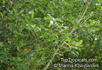 Pittosporum pentandrum, Taiwanese Cheesewood  Click to see full-size image