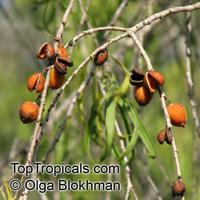 Pittosporum phillyraeoides, Pittosporum angustifolium, Willow Pittosporum, Butterbush, Native Apricot  Click to see full-size image