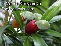 Podocarpus rumphii, Nageia rumphii, Podocarpus koordersii, Podocarpus philippinensis, Malakauayan, Kayu China  Click to see full-size image