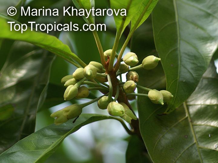 The Maya Fruit: Canistel