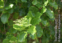 Premna obtusifolia, Buas buas, Headache Tree  Click to see full-size image