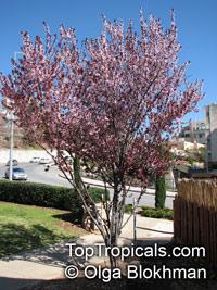 Prunus cerasifera - St. Lukes Flowering Plum, Cherry PlumClick to see full-size image