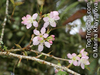 Prunus cerasoides, Himalayan flowering cherry  Click to see full-size image