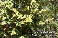 Pterospermum grandiflorum, Large Flowering Pterospermum, Duck�s Foot  Click to see full-size image