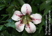 Randia maculata, Randia longiflora, Rothmannia longiflora, Terompet Gading  Click to see full-size image