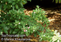 Rhodomyrtus tomentosa, Myrtus canescens, Myrtus tomentosa, Rhodomyrtus parviflora, Rose Myrtle, Downy Myrtle  Click to see full-size image