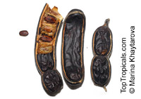 Samanea saman, Albizia saman, Pithecellobium saman , Rain Tree, Monkeypod, Cenizaro, Cow Tamarind  Click to see full-size image