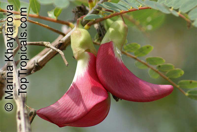 Sesbania Grandiflora Agati Grandiflora Hummingbird Tree