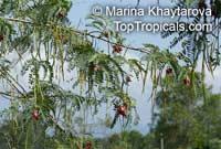 Sesbania grandiflora, Agati grandiflora, Hummingbird Tree, Butterfly Tree, AgatiClick to see full-size image