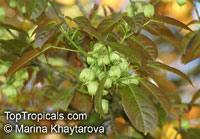 Sloanea sp., SloaneaClick to see full-size image