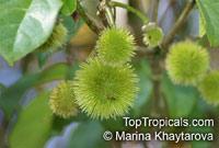 Sloanea sp., Sloanea  Click to see full-size image
