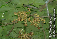Sterculia apetala, Helicteres apetala, Sterculia carthaginensis, Sterculia chicha, Bellota, Panama Tree  Click to see full-size image