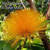 Stifftia chrysantha - Pompom, Rabo-de-Cutia  Click to see full-size image