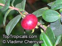 Ugni molinae, Myrtus ugni, Eugenia ugni, Chilean Guava, Strawberry Myrtle, Murta, Murtilla  Click to see full-size image