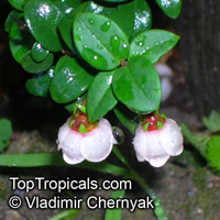 Ugni molinae, Myrtus ugni, Eugenia ugni, Chilean Guava, Strawberry Myrtle, Murta, MurtillaClick to see full-size image