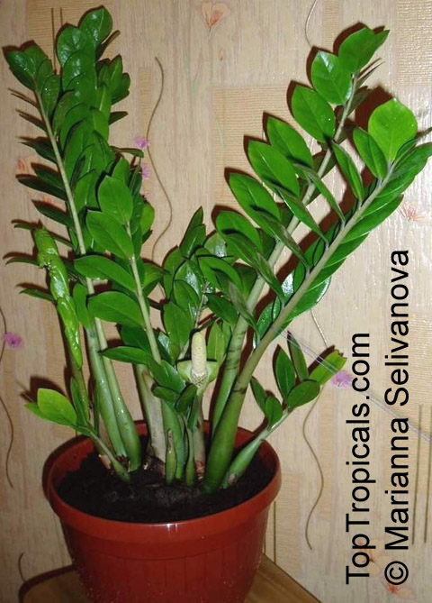 Zamioculcas zamiifolia caladium zamiaefolium zamioculcas lanceolata
