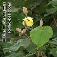 Hibiscus macrophyllus, Hibiscus setosus, Hibiscus vestitus, Talipariti macrophyllum, Large-leaved Hibiscus  Click to see full-size image