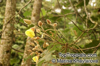Hibiscus macrophyllus, Hibiscus setosus, Hibiscus vestitus, Talipariti macrophyllum, Large-leaved HibiscusClick to see full-size image