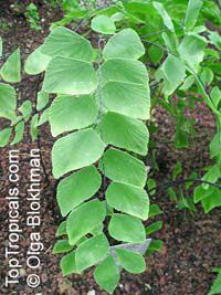 Adiantum peruvianum, Silver DollarClick to see full-size image