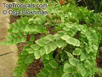 Adiantum peruvianum, Silver Dollar  Click to see full-size image